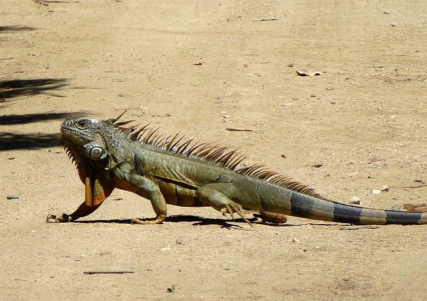 Iguana in Sayulita
