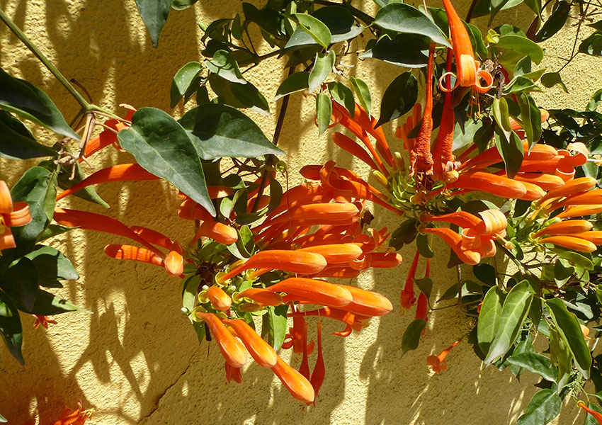 orange flowers in Sayulita