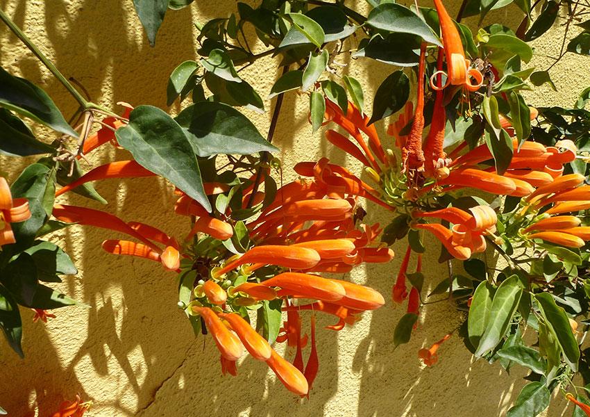 orange flowers in Sayulita
