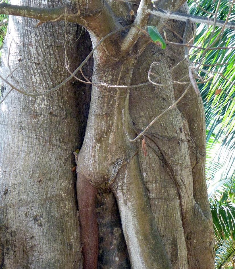 Tree within a tree in Sayulita